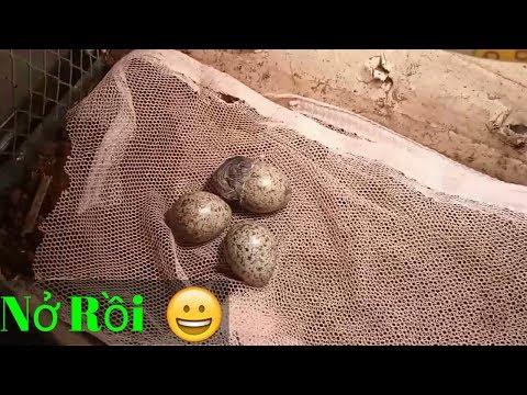 Nhặt trứng cút rừng mang về ấp và cái kết