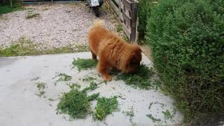 Chow chow rubs his head on a fresh cut oregano plant