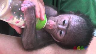 아기 개코 원숭이 ( Baby Baboon - Feeding Time )