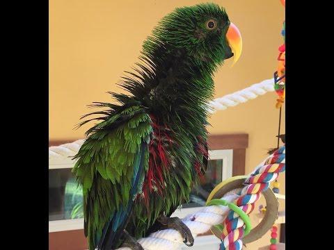 Как сделать чтобы попугай танцевал