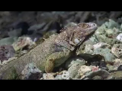 Green iguana epic journey - Wild Caribbean - BBC Nature