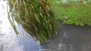 Cây thủy sinh mọc tự nhiên, hàng cao cấp, số lượng nhiều