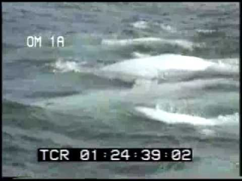 Beluga Whales - White Whales - Whales Swimming - Best Shot Footage - Stock Footage