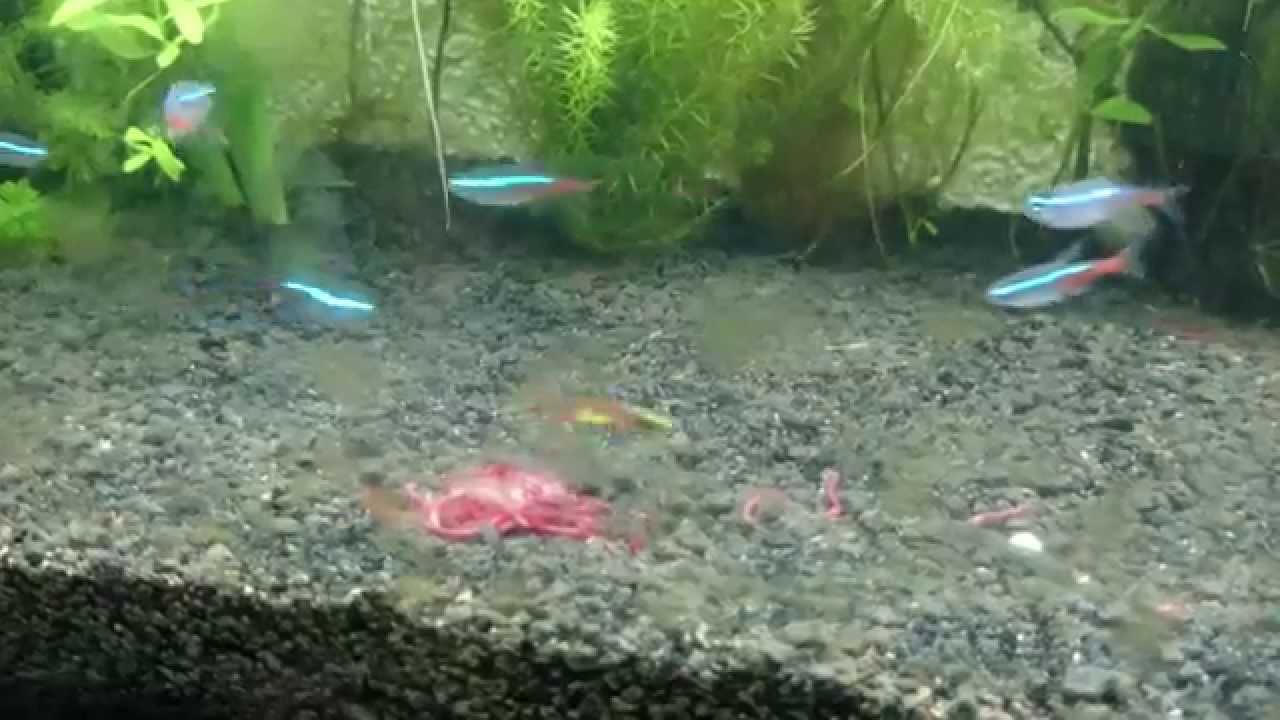 Tetras Attacking Guppies Muching Attack by Guppies