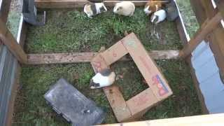 Cuy Project success! Baby guinea pigs!