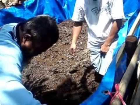 TAHAP 2. cara budidaya kolam lele sistem organik pupuk kandang, hemat pakan