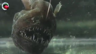 Criaturas Marinas: The angler fish