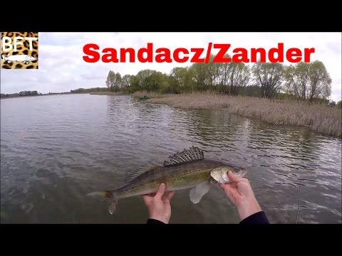 Zander On Live Bait /Sandacz Na Żywca