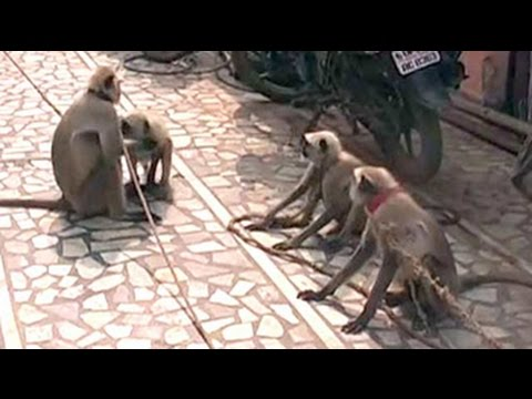 Among Presidential guard in Vrindavan, there could be 10 langurs. Here's why