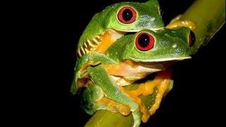 Breeding Red eye tree Frogs! 153 eggs