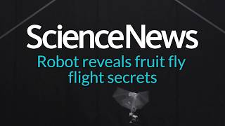 Robot reveals fruit fly flight secrets | Science News