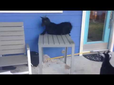 Major goat FAIL
