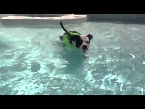 Pitbull swims with life jacket