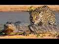 A Jaguar Attacks A Caiman
