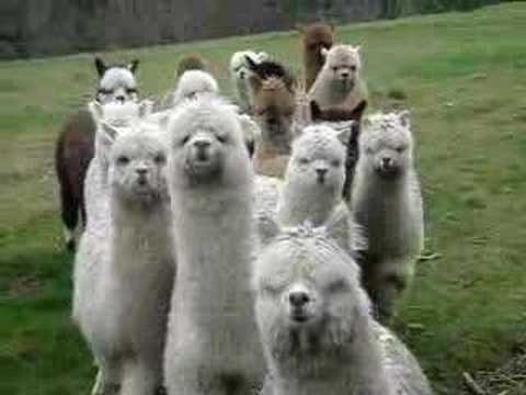 Thumbnail of video Alpaca Approach