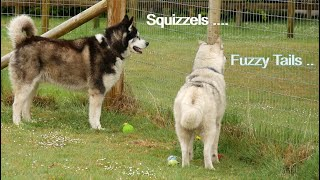 Dogs playing ball .. until  SQUIRRELS  stop play ...