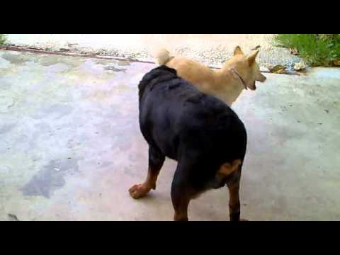 หมาไทย VS ร็อตไวเลอร์