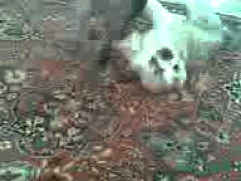 САО щенок и Мексиканская голая мини - 2