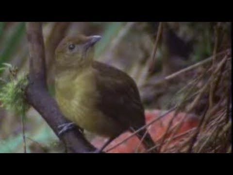 David Attenborough - Animal behaviour of the Australian bowerbird - BBC wildlife