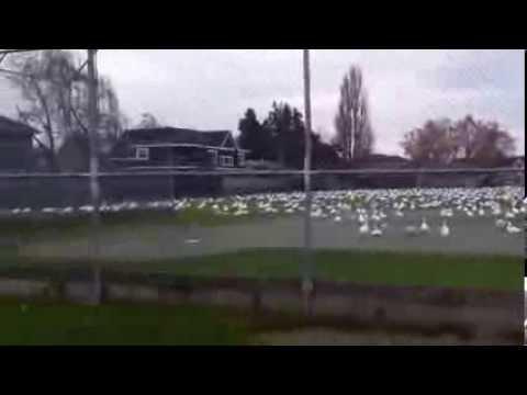 Geese Tsunami   (Гусиное цунами)