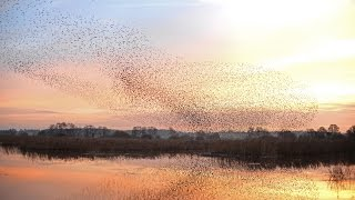 Spectacular Somerset Starling Murmurations