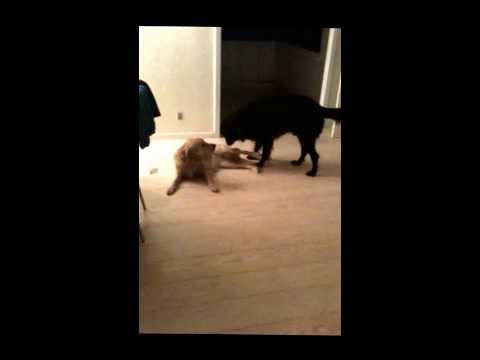 Male Dog Is Mating With Female Dog video