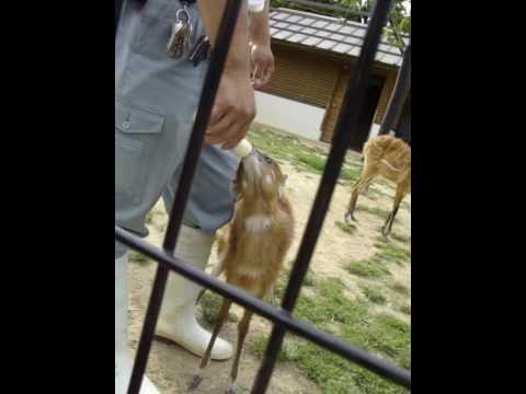 王子動物園 シタツンガの赤ちゃんクララちゃんの授乳
