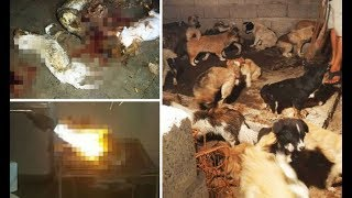Yulin Dog Festival INSIDE the slaughterhouse where dogs are BLOWTORCHED