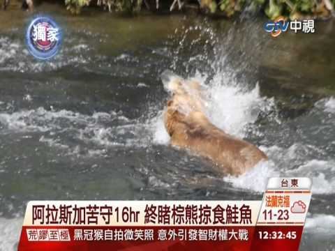 【中視新聞】阿拉斯加苦守16hr 終睹棕熊掠食鮭魚 20140807