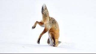 Fox vs Coyote - Hunting rats under the snow [HD]