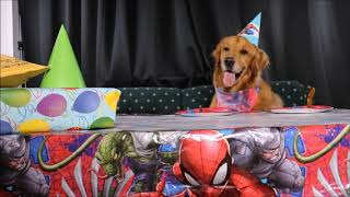 CUTE DOG EATS BIRTHDAY CAKE! GOLDEN RETRIEVER LOVES EATING! DOG/ PUPPY LOVES PLAYTIME!