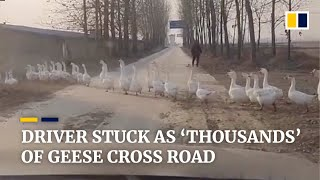 Driver stuck as 'thousands' of geese cross road in China
