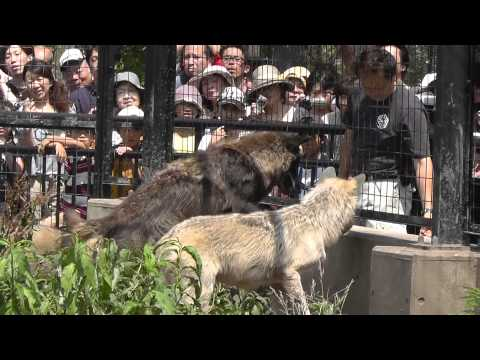 2011年7月28日 旭山動物園 シンリンオオカミ2