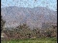 Swarm of Locusts @ Israel as The Antichrist Barack Obama Visits, GIANT Plague hits as He Leaves!