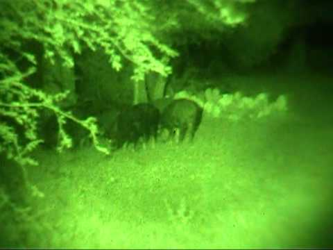 NightHogs.com night vision wild boar hog hunting Video