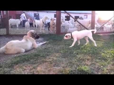 Sabırlı Kangal Az Daha Köpeği Boğacaktı !!