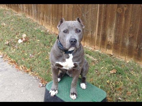 Diesel - Blue Nose Pit Bull - Oklahoma Dog Training