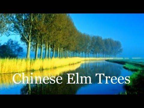 Chinese Elm Tree Shade Tree