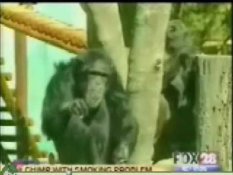 MojoFlix Smoking Chimp