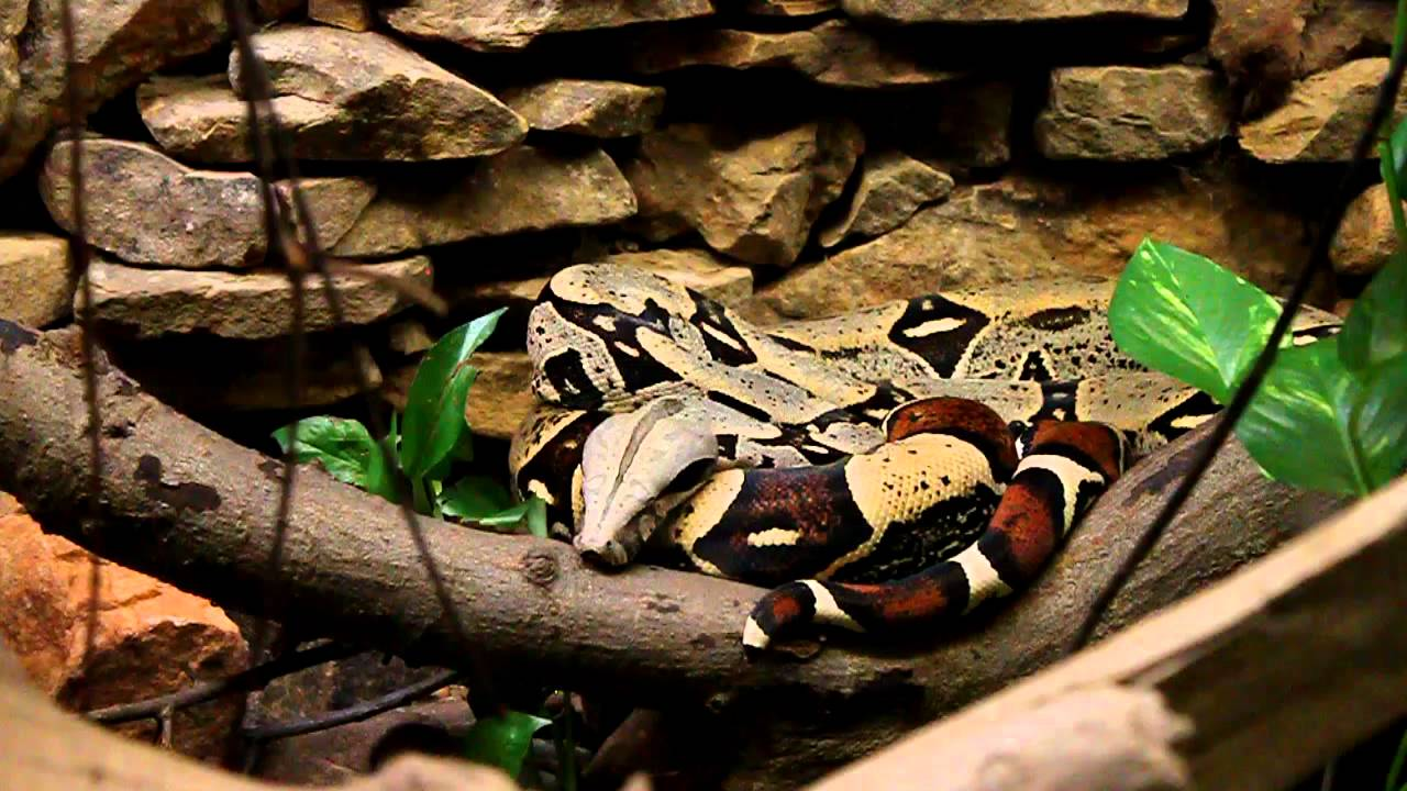Red Tail Boa Bite Red-tailed Boa Constrictor at