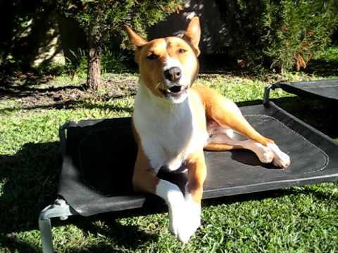 A Basenji Yodeling Strange Basenji dogs  bark