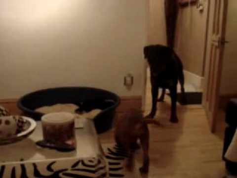 puppy bull mastiff VS Rottweiler Video