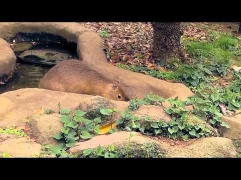 よこはま動物園ズーラシアのカピバラさん