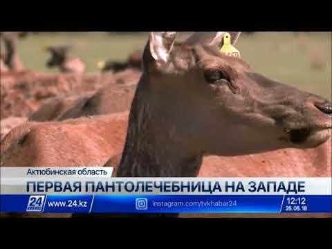 Наплыва туристов ждут в единственной в Актюбинской области пантолечебнице