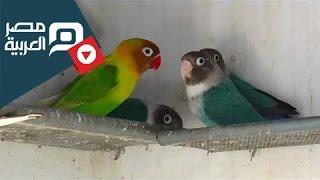مصر العربية |  طيور الحب .. هدية العشاق في valentine تونس