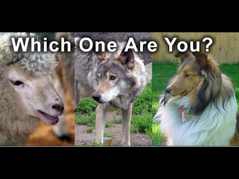 grossmans essay on wolves and sheepdogs