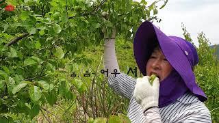 [시민기자영상] 매실 따는 날은 건강을 따는 즐거운 날