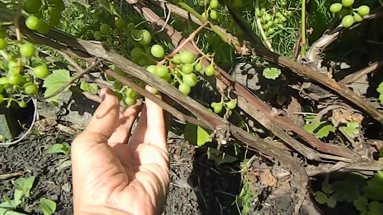 Уход за виноградом которому год