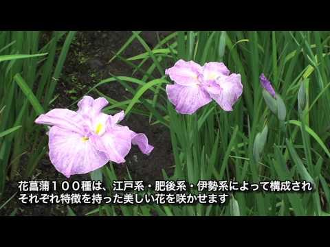 関市 「百年公園」 ~ハナショウブ~