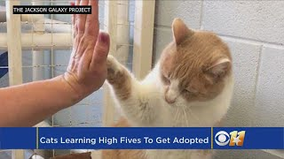 Shelter Cats Learning To High-Five To Help Adoption Chances
